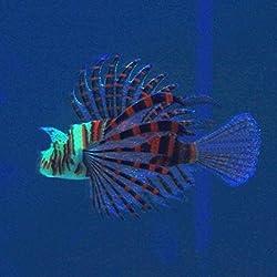 Hot Sale!DEESEE(TM)Aquarium Landscaping Decorations Luminous Simulation Of Colored Lionfish (Brown)