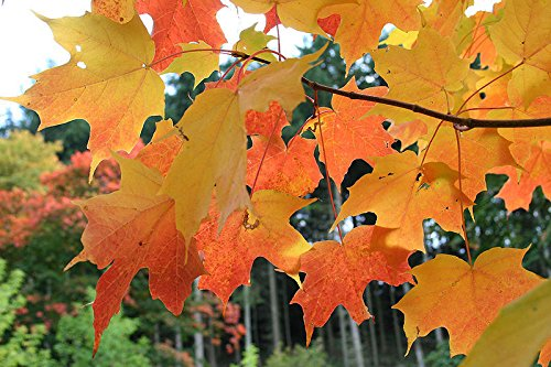 Tree Seeds - 20 Seeds of Sugar Maple, Acer Saccharum (Northern) (Showy Fall Color, Hardy)