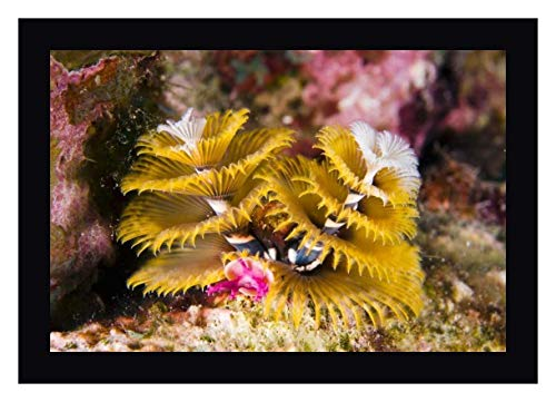 Christmas Tree Worm Filter Feeding While Attached to Great Star Coral, Bonaire, Netherlands Antilles -2 by Pete Oxford 24