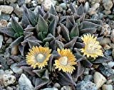 Nananthus aloides, rare living stone cacti mesembs rock plant ice seed 50 SEEDS