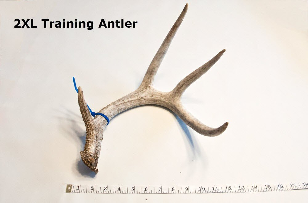 100% Real Whitetail Antlers For Shed Dog Training by Everything Shed Dog