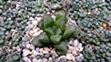 1 Starter Plant of Haworthia Retusa