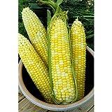 bulk corn seed - Dirt Goddess Super Seeds Bulk Organic Sweet Corn Seeds (1/2 LB)