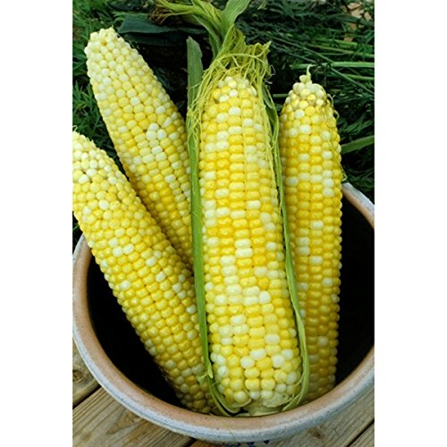 Dirt Goddess Super Seeds Bulk Organic Sweet Corn Seeds (1/2 (Super Sweet Corn)