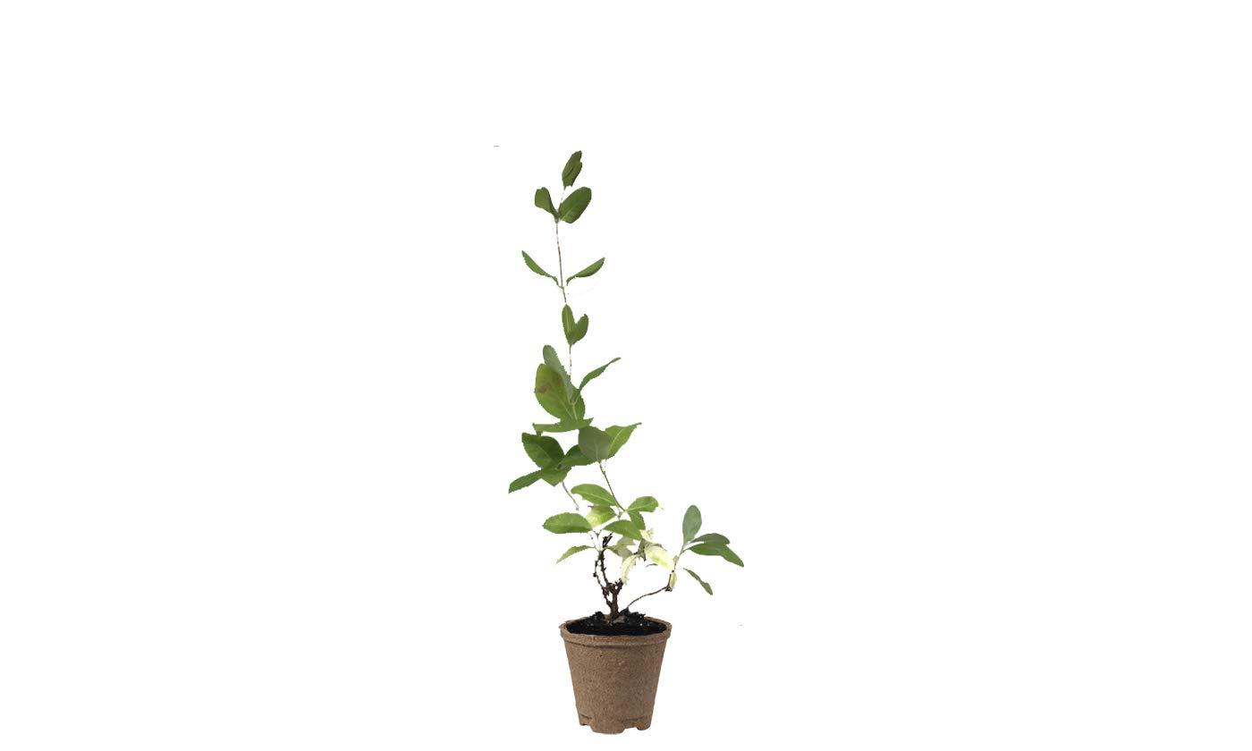 Green Vision Gardens LP-HSKMG-Q3 Honeysuckle Magnifica Vine Live Plant 3-Pack, Green, Pink