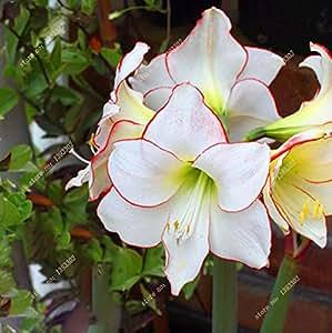 Nuevos Macetas con flores blancas bulbos de Amaryllis Hippeastrum, Bombillas (no son semillas Hippeastrum) -3 bombillas de luz de color rosa