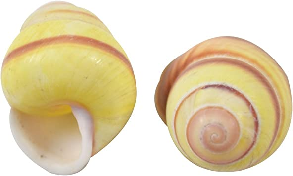 """1//2 to 1/""""  YELLOW SNAIL SHELLS WITH RED STRIPE TWENTY FIVE CRAFT 25"""