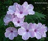 Morning Glory Tree / Bush , Pink Flowers, Ipomoea carnea / fistulosa, Badoh Negro, Borrachero, Matacabra. Bees love it! (15+ Seeds)