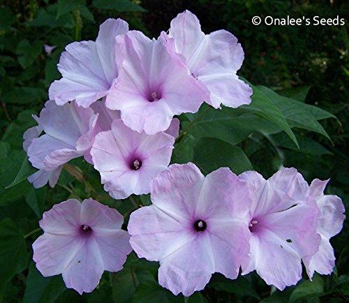 Ipomoea Morning Glory - Morning Glory Tree / Bush , Pink Flowers, Ipomoea carnea / fistulosa, Badoh Negro, Borrachero, Matacabra. Bees love it! (15+ Seeds)