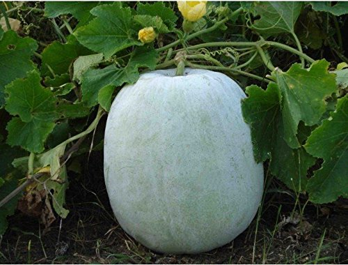 ash Gourd, White Wax Winter Melon, benincasa hispida 10+ - Gourd White