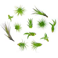 Air Plant Variety Pack(24) Small Tillandsia Terrarium Kit -Assorted Species of Live Tillandsia -2 to 5 Inch Each for Home Decor - Plants for Pets
