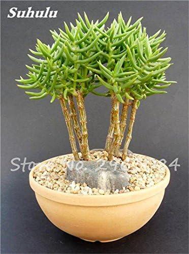 Gran venta! 50 PC semillas de cactus raras plantas suculentas mini jardín Plantar, comestibles Semillas belleza de la fruta de la planta vegeable hierbas 1: Amazon.es: Jardín