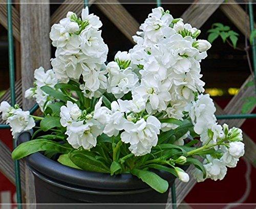 Stock Flower Seeds - Stock (Matthiola Incana Ten Week White) Gillyflower Night Scented, 40 Seeds