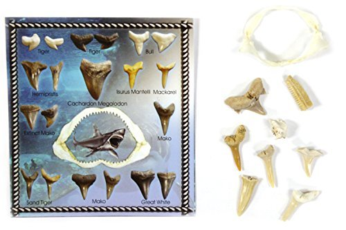 Genuine Miniature Shark Jaw with Fossilized Shark Teeth and Identifier/ Story Card