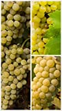 buy Homegrown Grape Seeds, 20 Seeds, Edelweiss Grape Early Ripening now, new 2019-2018 bestseller, review and Photo, best price $5.45