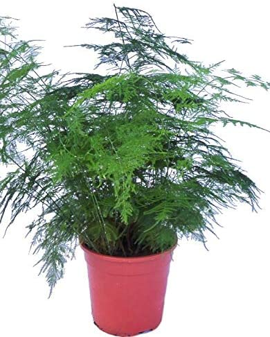 Asparagus Plumosus House Plant In A 13cm Pot Asparagus Fern Amazon Co Uk Garden Outdoors