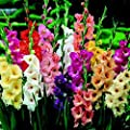 Gladiolus, Bulb (10 Pack) Pastel Mixed, Mixed Perennial Gladiolus Bulbs, Flowers