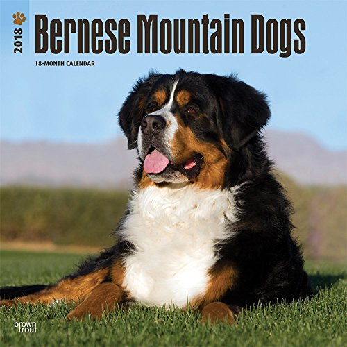 Bernese Mountain Dogs 2018 12 x 12 Inch Monthly Square Wall Calendar,Animals Dog Breeds (English, French and Spanish Edition) ()
