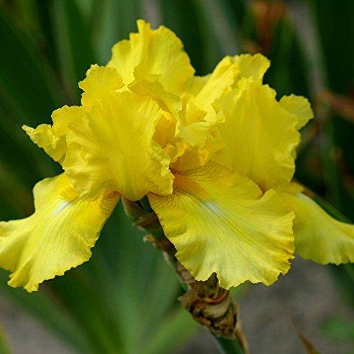 Iris germanica October Sun - 1 plant