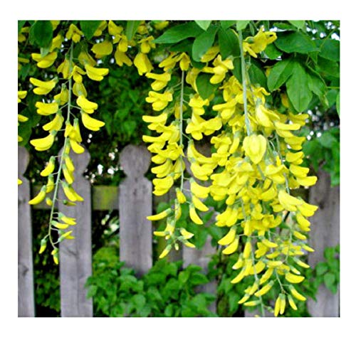 Seeds Golden Chain Tree Hardy Beautiful Fast Growing to Blooming Small Tree 68