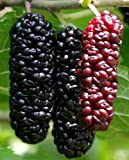 "Illinois Everbearing Mulberry Tree 6-10"" Tall, Sweet Fruit to Enjoy Year after Year, Fruit Bearing Potted Plant"