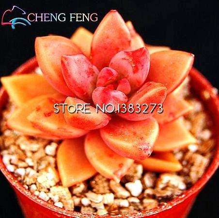 10pcs crassula capitella thyrsiflora red Pagoda Succulent Cactus Seeds jatropha Tree Herbs Plants Seeds Mini Pot: Light Grey