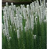White Blazing Star, Gayfeather seeds - Liatris spicata