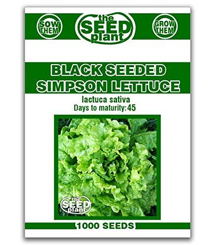 Black Seeded Simpson Lettuce Seeds - 1,000 Seeds Non-GMO