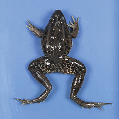 """Perfect Solution Preserved Jumbo Frog, 3-4"""", Double,Pail"""