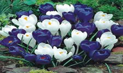 CROCUS, BULBS (20 PACK), BLUE MOON MIX, BLUE WHITE PERENNIAL CROCUS BULBS, BLUE WHITE (Mix Icy Colors)