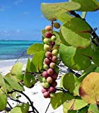 Sea Grape Coccoloba uvifera 10 Seeds