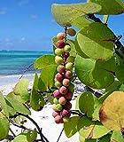 Sea Grape Coccoloba uvifera 10 Seeds