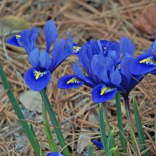 10 Purple Flowers Bulbs of Dwarf Iris Reticulata Harmony Rich Royal Flower Planting