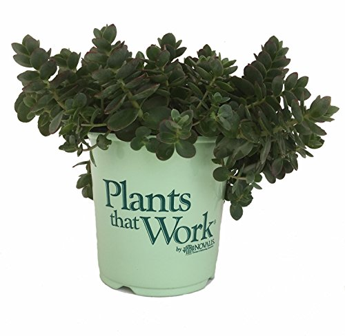 Plants That Work - in Nooks & Crannies Lime Zinger Sedum - Sedum Lime Zinger - 19cm