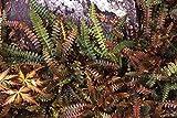 Blechnum Penna-Marina - Alpine Fern, 3 Plants in 9cm Pots