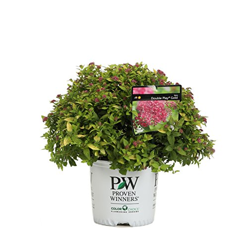 Double Play Gold Spirea (Spiraea) Live Shrub, Pink Flowers with Green and Yellow Foliage, 1 Gallon (Spirea Shrubs)
