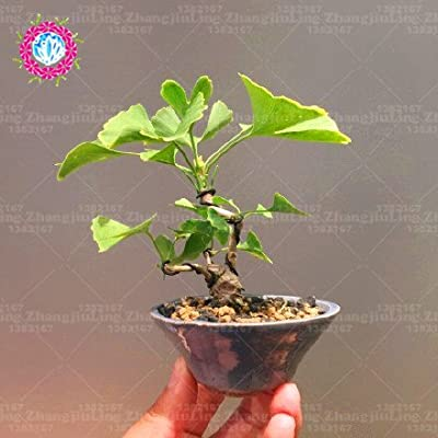 5pcs Maidenhair Tree Mini Gingko Bonsai Seeds Ginkgo Biloba Bonsai Seeds Professional Pack Ornamental Leaves Indoor Plant : Garden & Outdoor
