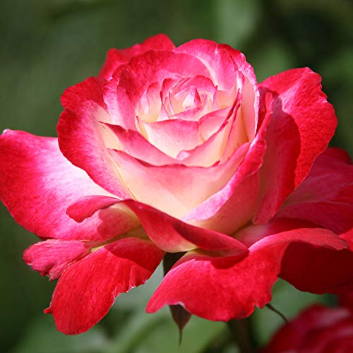 Own-Root One Gallon Double Delight Hybrid Tea Rose by Heirloom Roses by Heirloom Roses (Image #1)