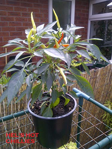 Portal Cool Seeds: Medusa Chilli 10 Seeds Sweet Ornamental Easy to Grow Beautiful!!!!! -