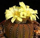 Frailea Castanea Exotic Flower Cacti Rare Flowering Cactus Semi Seed 15 Seeds