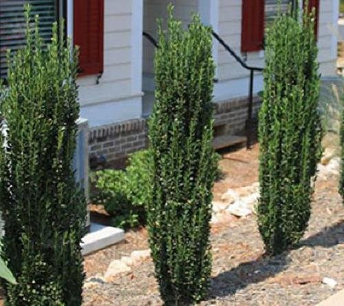 SS0144 Live Plant Sky Pencil Japanese Holly Tree Trade Quart Pot Garden Best Gift NEW
