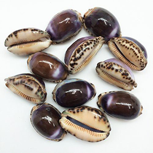 PEPPERLONELY 12PC Purple Top Arabian Cowrie Sea Shells, 1-1/4 Inch ~ 1-1/2 Inch by PEPPERLONELY