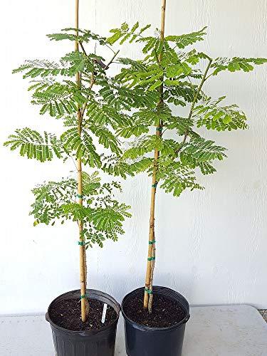 PlantVine Caesalpinia pulcherrima, Dwarf Poinciana, Pride of Barbados - Extra Large - 12-14 Inch Pot (7 Gallon), Live Plant by PlantVine (Image #2)