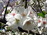 Snowgoose Flowering Cherry Tree 2 1/2'' Pot 6-14'' in Height Plant