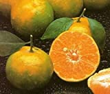 Italian Tangerine Orange 10 Seeds Fruit Tree very sweet Citrus Tangerina