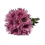 Farm Fresh Natural Pink Spider Mums - 60 Stems