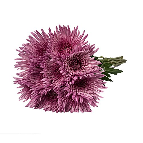 Farm Fresh Natural Pink Spider Mums - 60 Stems by Bloomingmore