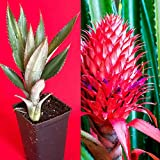Red Pineapple Ananas bracteatus Tropical Fruit Plant