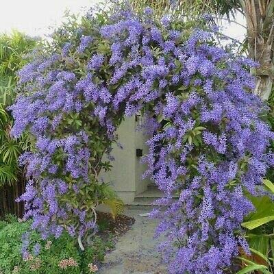 50+ Queen's Wreath Vine Seeds (Petrea volubilis) - Rare Flower Succulen Tree Fruit Seeds Summer Spring Garden(25-100 Seeds) : Garden & Outdoor