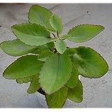 Generic Kifayati Patharchatta Kidney stone Healthy Live Best Pot Outdoor Plant (Kifayati485)